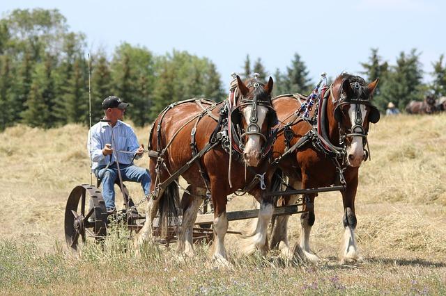 koně při práci