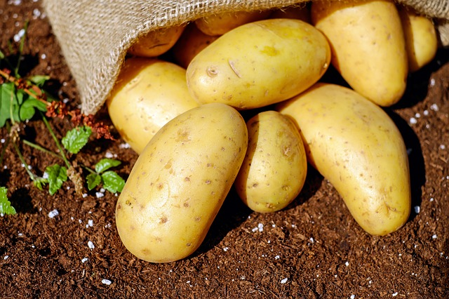 sběr brambor.jpg